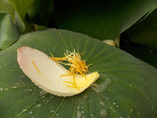 jardin des plantes 7 lotus