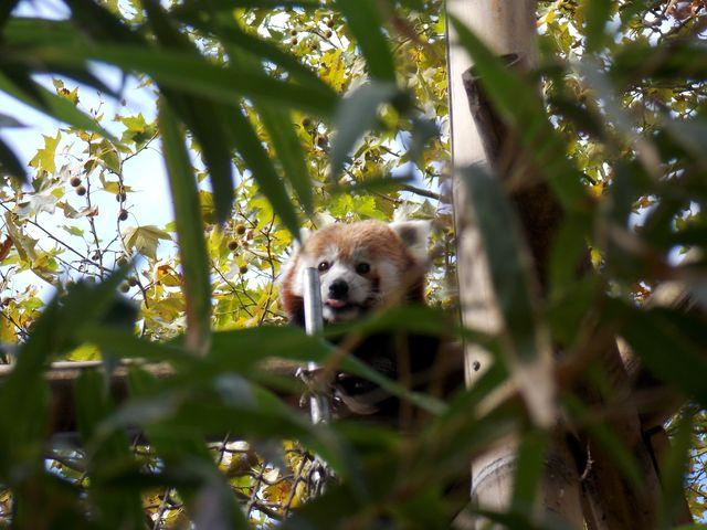 panda roux,