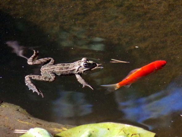 au jardin 3 grenouille