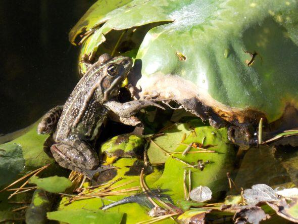 au jardin 6 grenouille