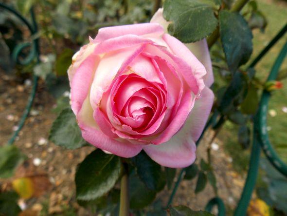 Rose d'automne, ces jours-ci au jardin des Plantes, photo Alina Reyes