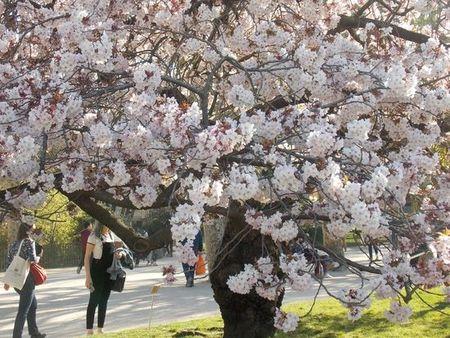 J'ai pris cette photo le 31 mars 2019 au Jardin des Plantes, où les cerisiers sont sans doute en fleur aussi ces jours-ci