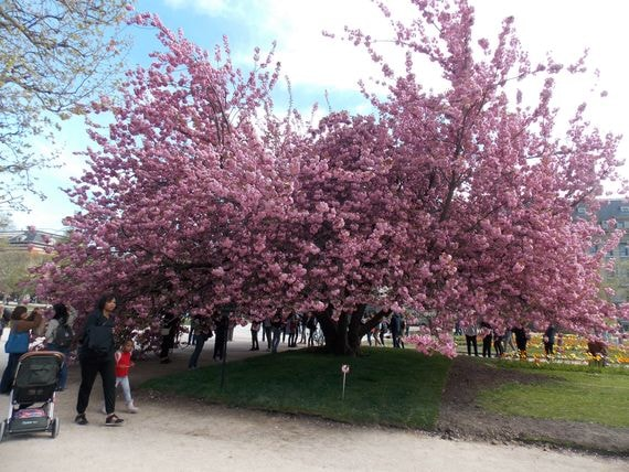 jardin des plantes cerisier rose-min