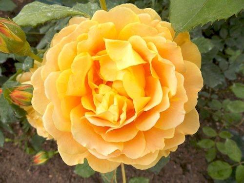 rose 1-min