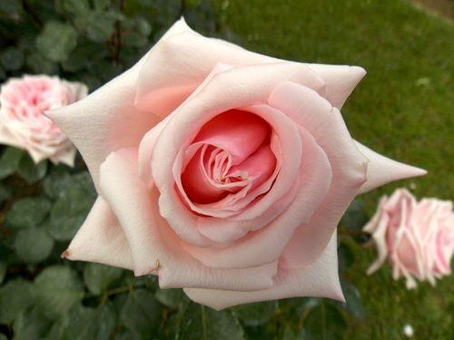 rose 10-min