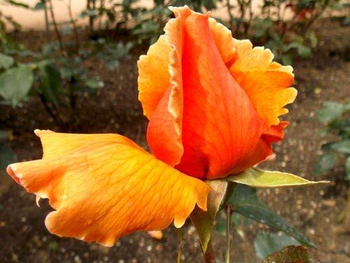 rose 11-min