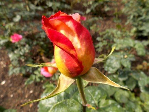 rose 12-min