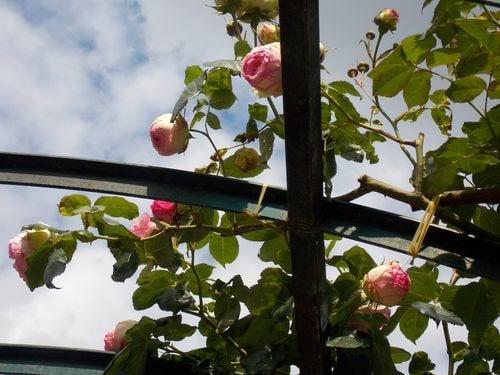 rose 13-min