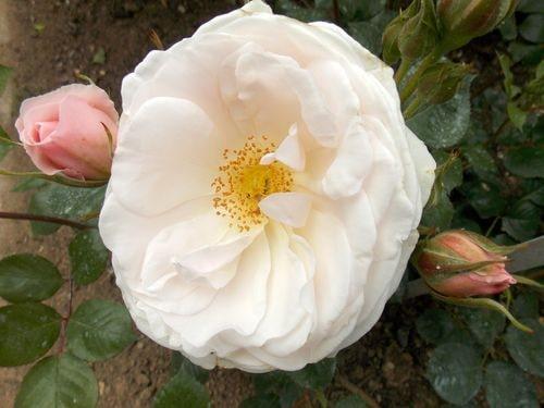 rose 15-min