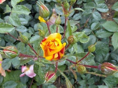 rose 16-min