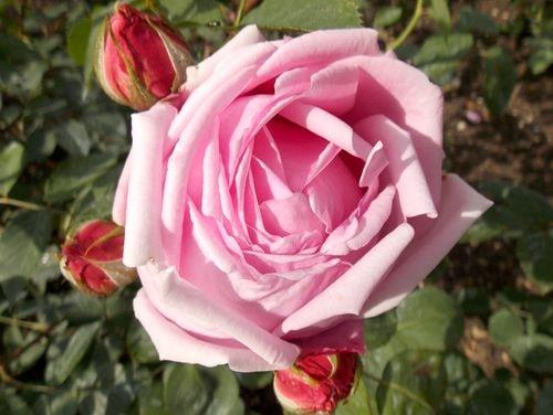 rose 17-min