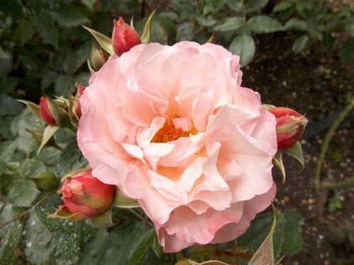 rose 4-min