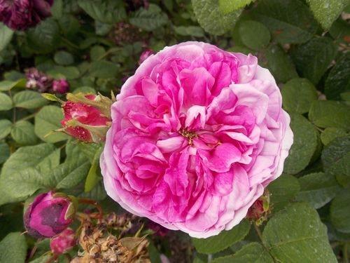 rose 6-min
