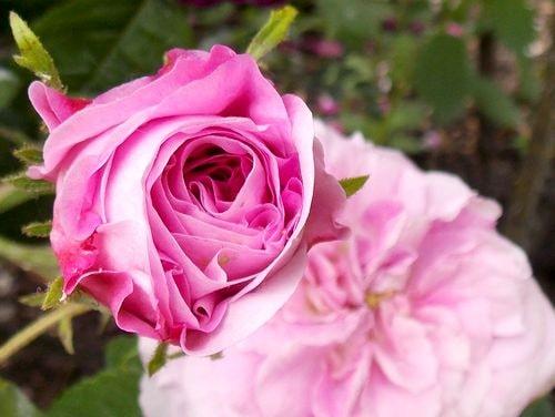 rose 7-min