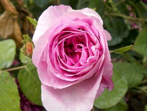 rose 8-min