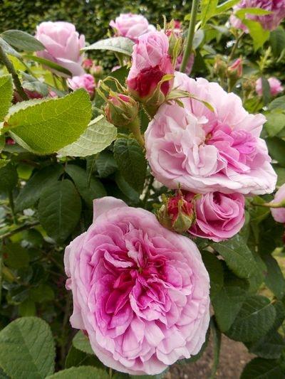 rose 9-min