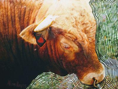 Un taureau nommé Espoir, que je pris un jour par les cornes (pas de métaphore dans cette légende, seulement la réalité)