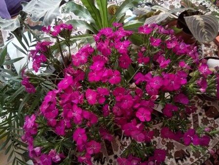 bouquets d'oeillets offert par O ce matin
