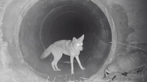coyote & blaireau