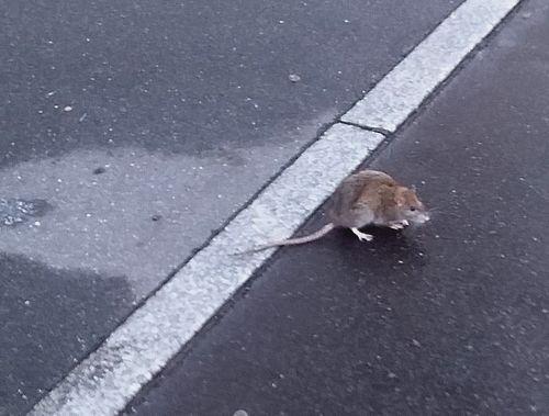 un vieux rat dans la rue, à Paris ces jours-ci, photo Alina Reyes
