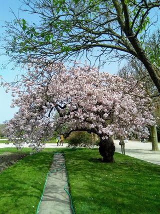 Les cerisiers sont en fleur ces jours-ci au jardin des Plantes. Photo Alina Reyes